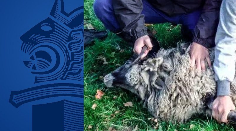 Karjaeläimiä varastetaan uskonnolliseen halal-teurastukseen – Lampaat ja Lehmät ovat suosituimpia kohteita