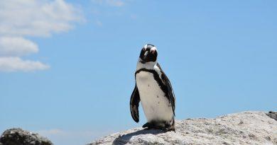 Japanilaisen eläintarhan jätetty ja uudelleen rakastunut pingviini on kuollut