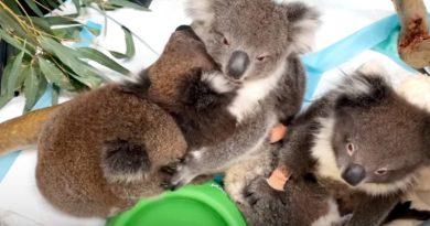 Kolme pilottia kuoli suojellessaan koalatarhaa – muisto elää pelastettujen eläinten kautta